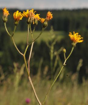 Auf dem Bild ist der Blütenstand des weichhaarigen Pippau zu sehen.