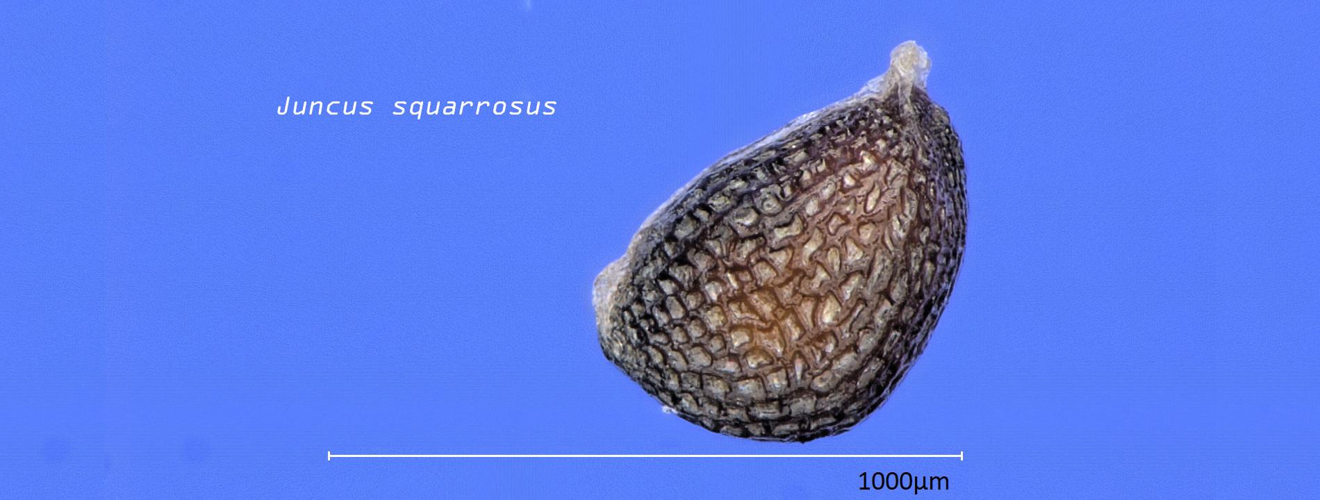 Auf dem Bild ist ein Samen der Pflanzenart Juncus squarrosus zu sehen.