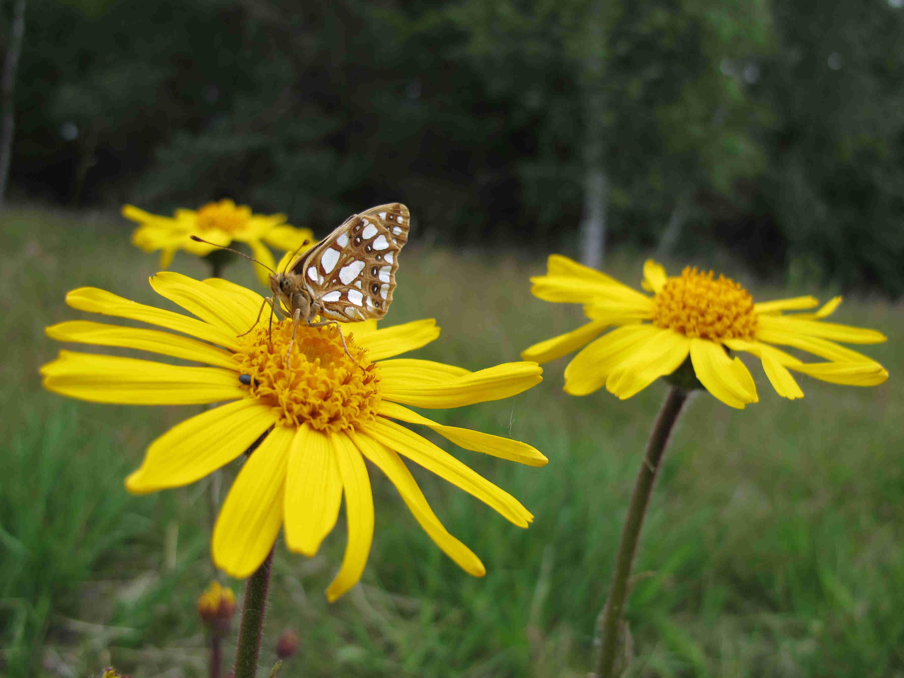 Auf dem Bild ist ein Schmetterling auf dem Blütenstand von Arnica montana zu sehen.