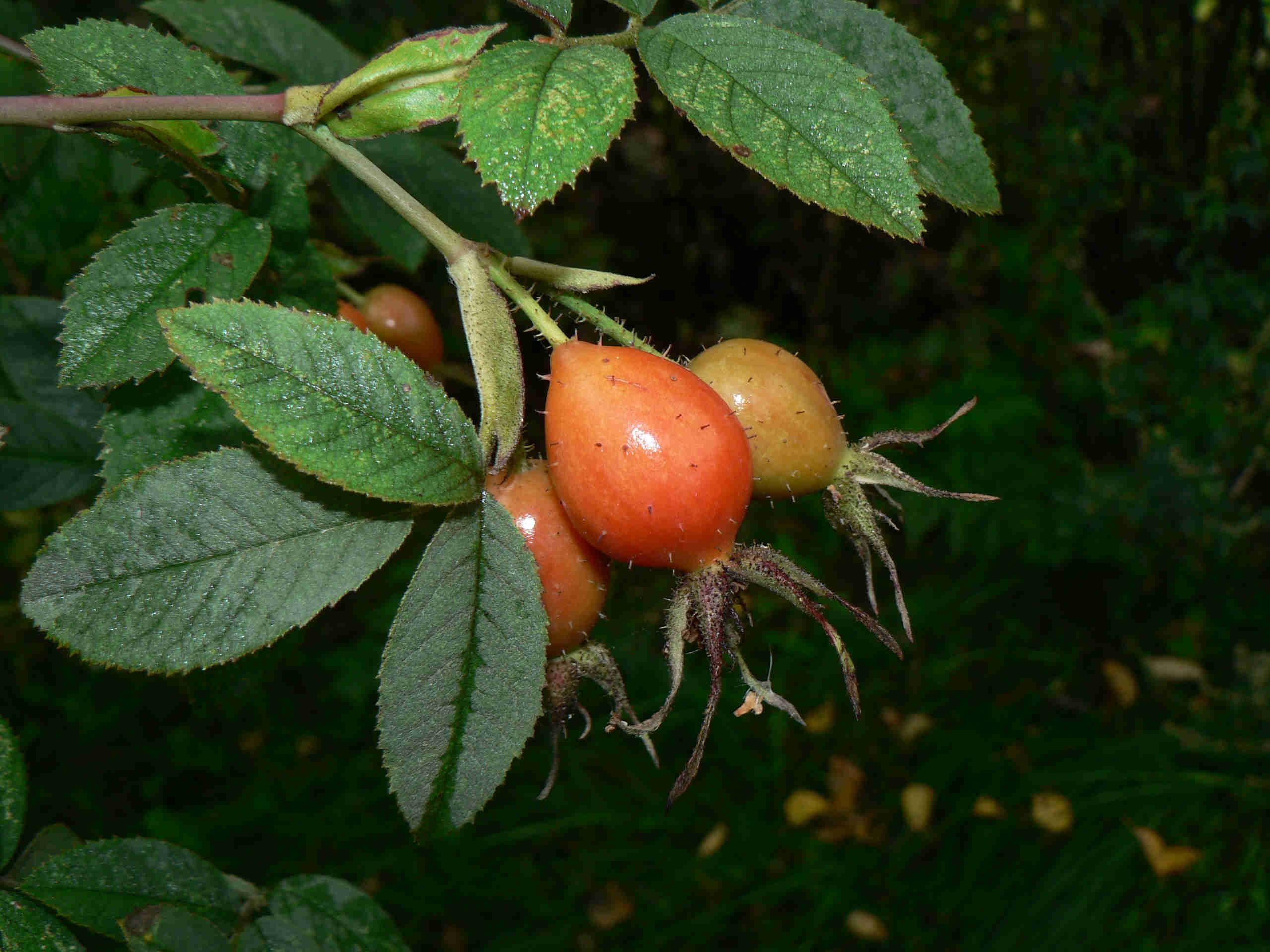 Auf dem Bild sind Blätter und Früchte der Samt-Rose zu sehen.