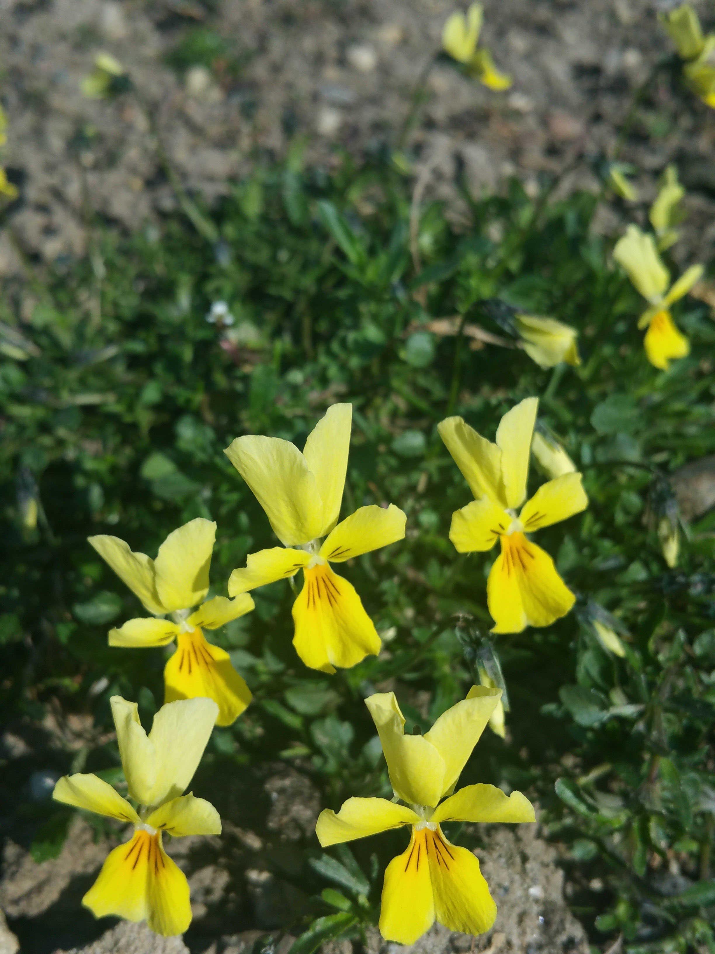Auf dem Bild ist die Pflanzen Viola calamiaria zu sehen.