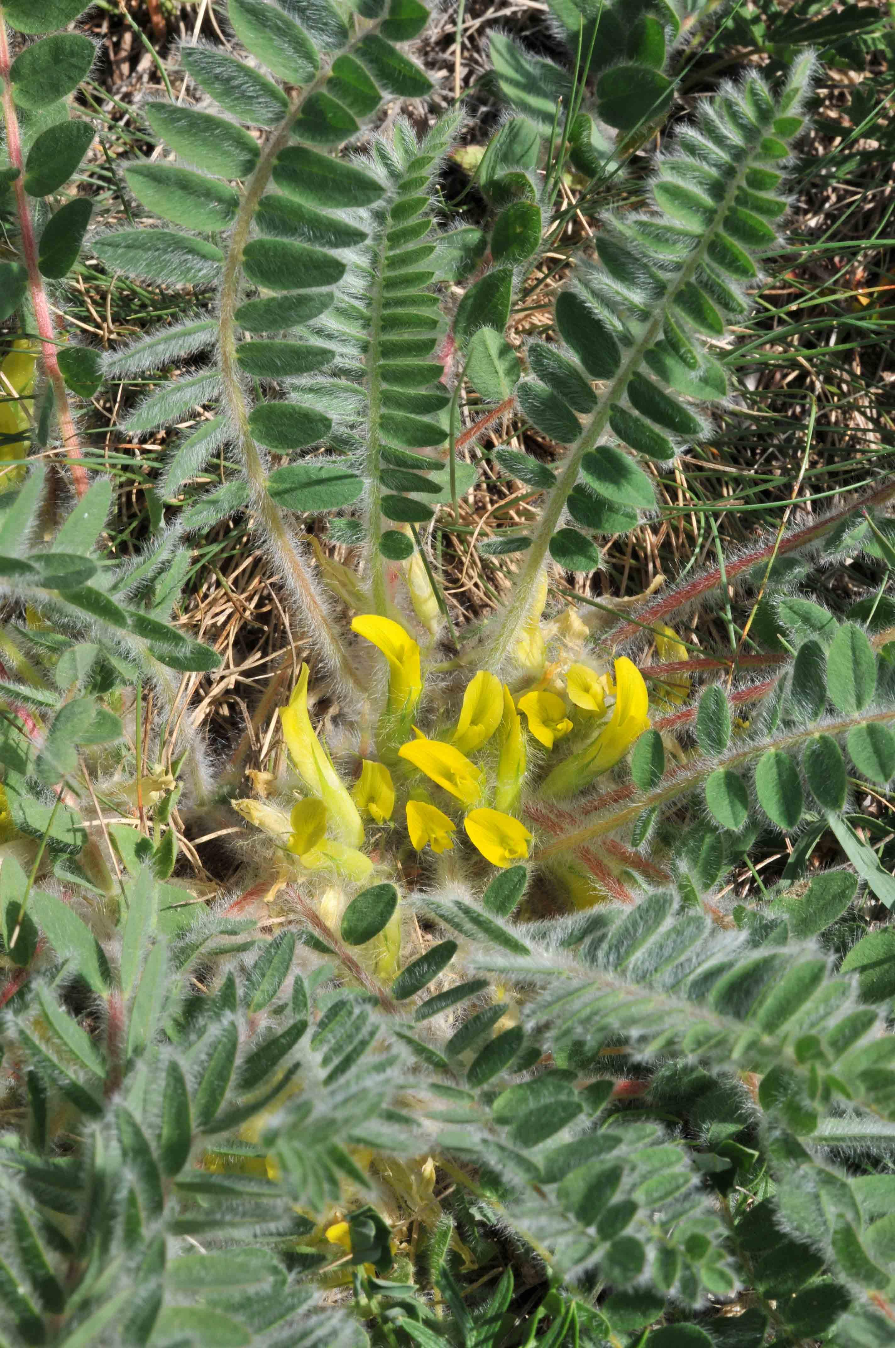 Auf dem Bild ist der Stängellose Tragant mit gelben Blüten zu sehen.