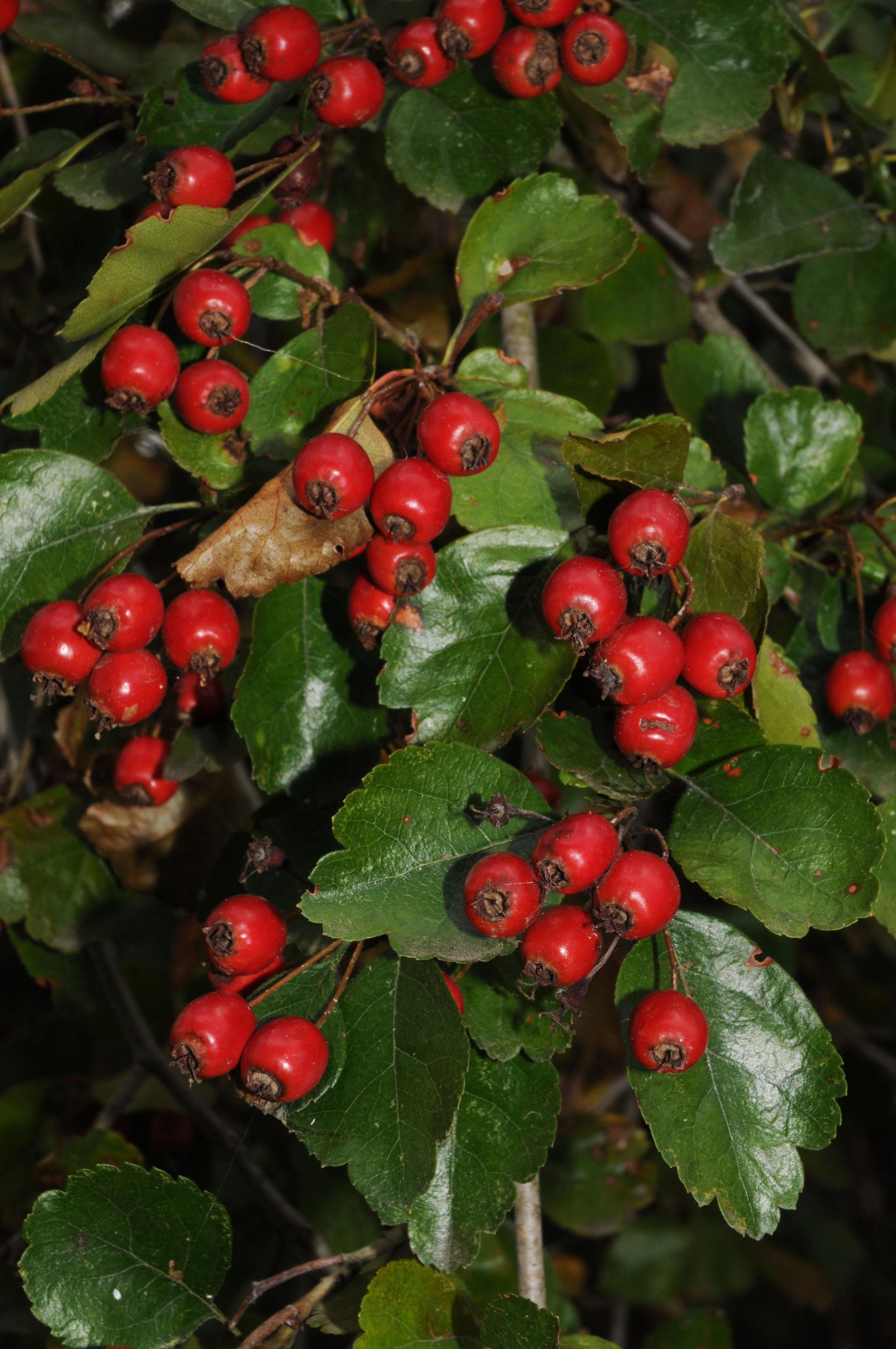 Auf dem Bild ist Crataegus laevigata mit den roten Fruchtkörpern zu sehen.